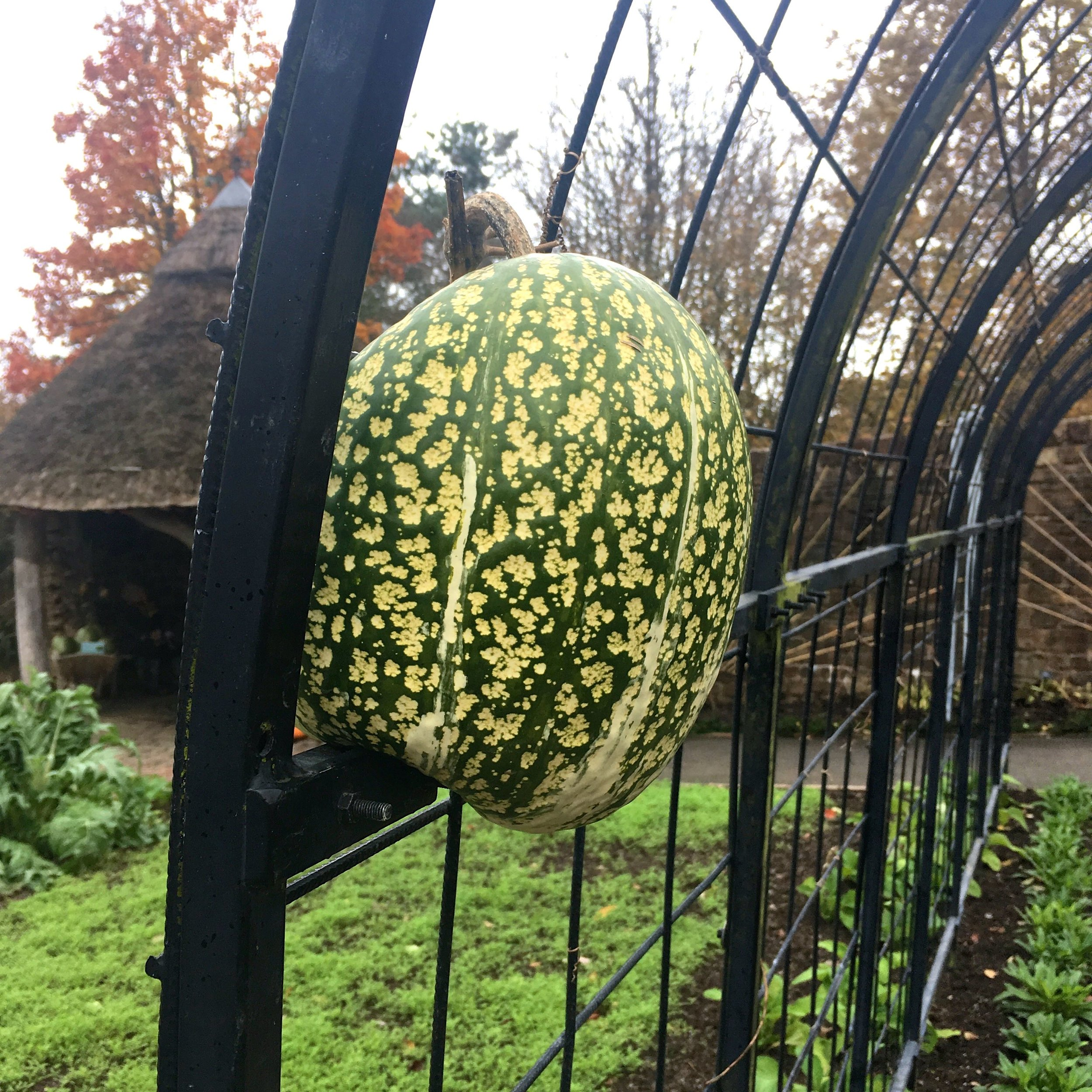 One pumpkin which has grown through the archway remains