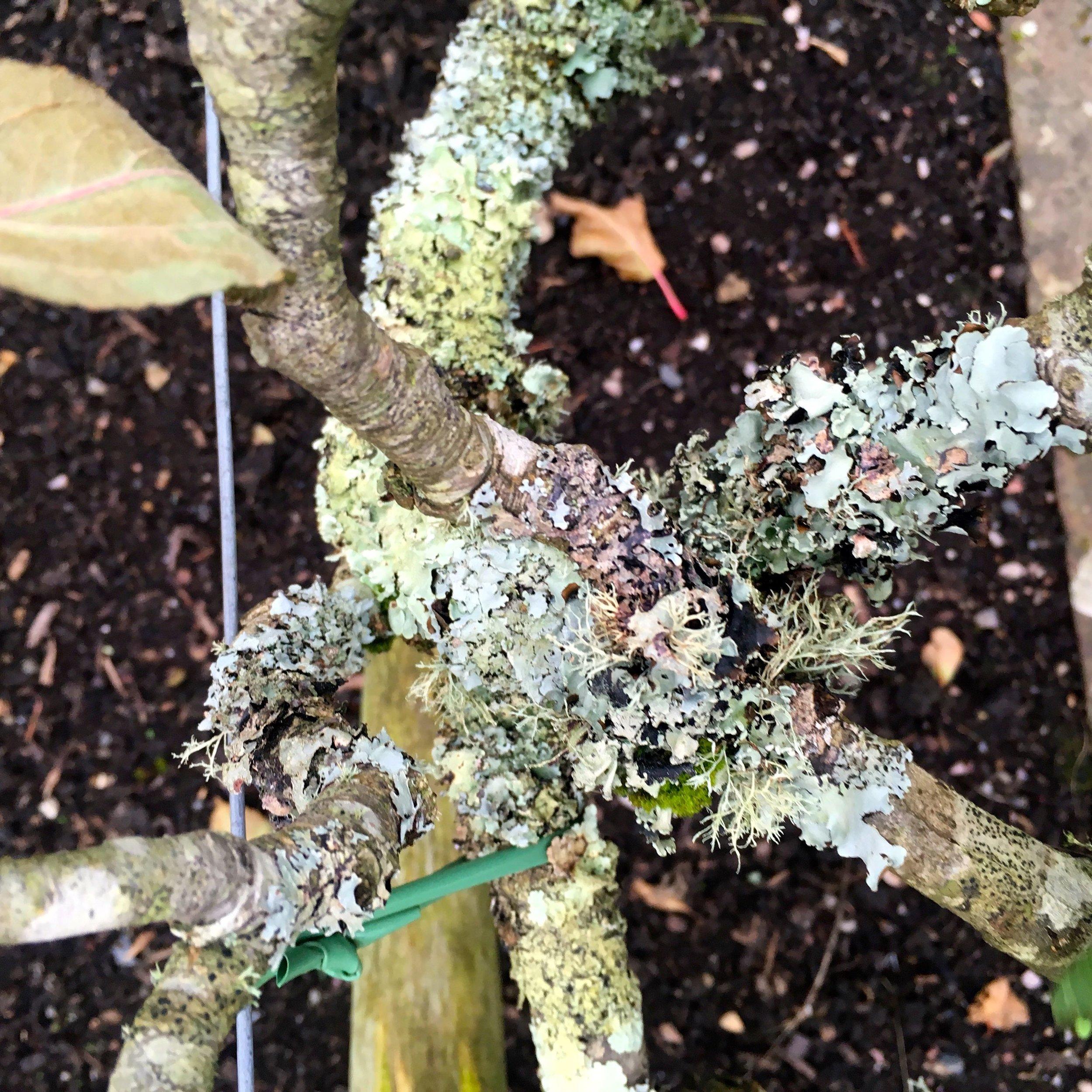 lichen on plants in the vegetable garden at RHS Rosemoor