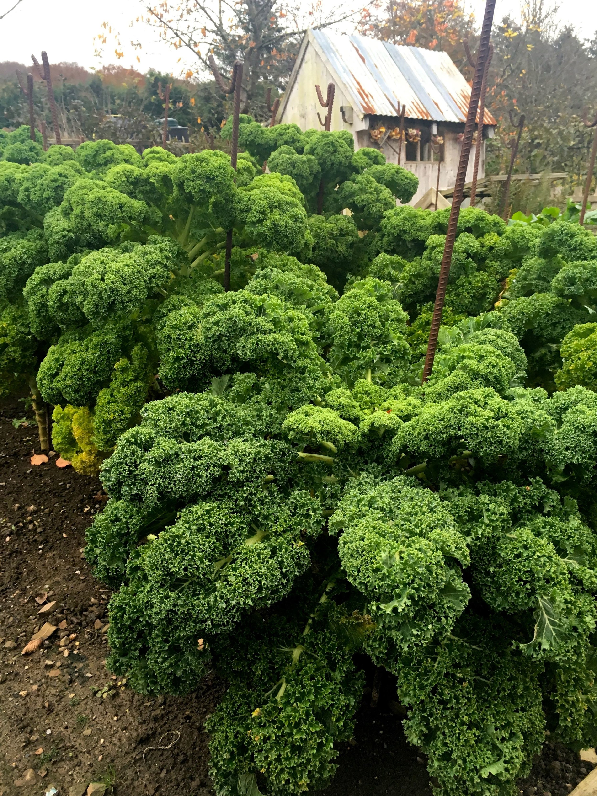 curly kale and a shed