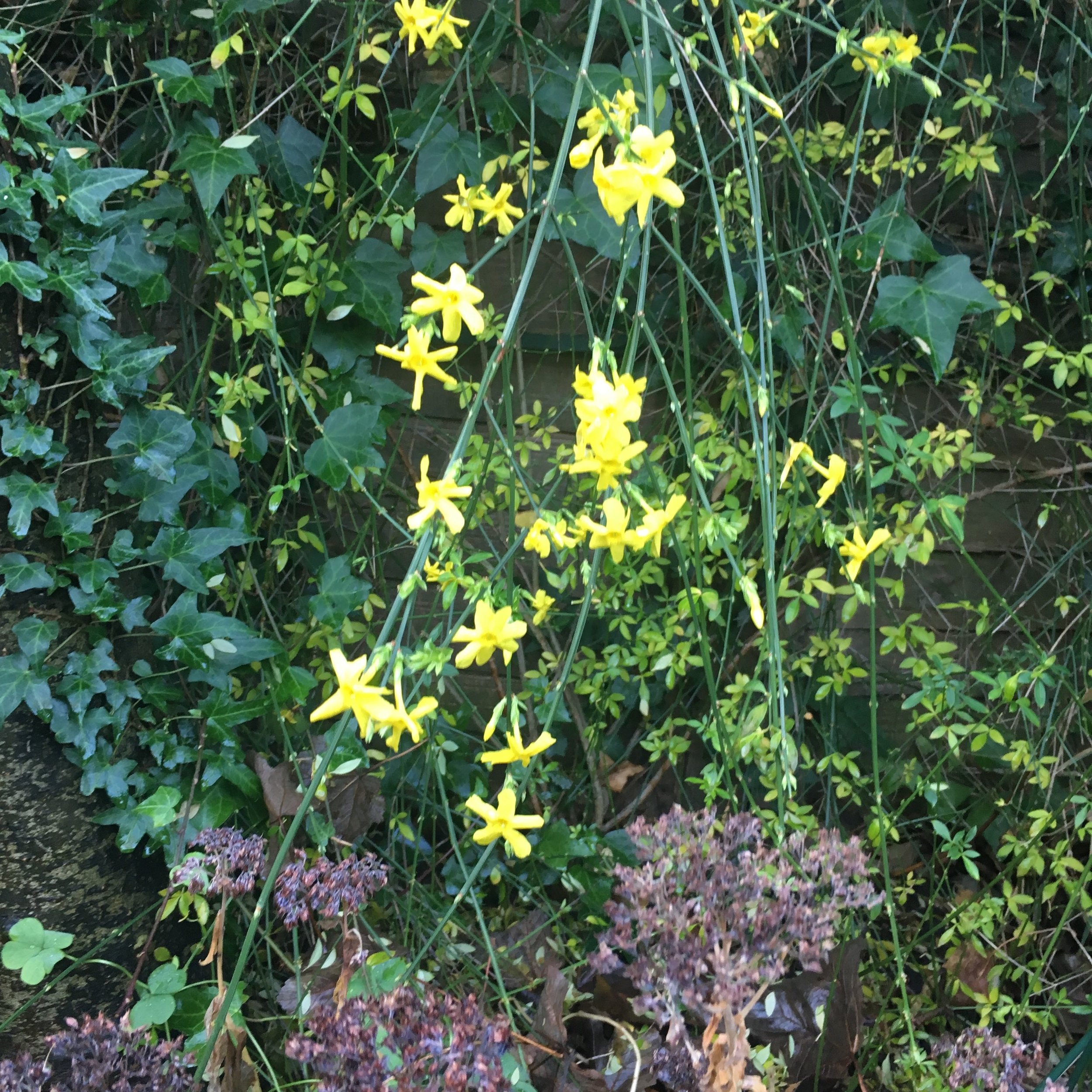 WINTER JASMINE ADDING ITS OWN COLOUR