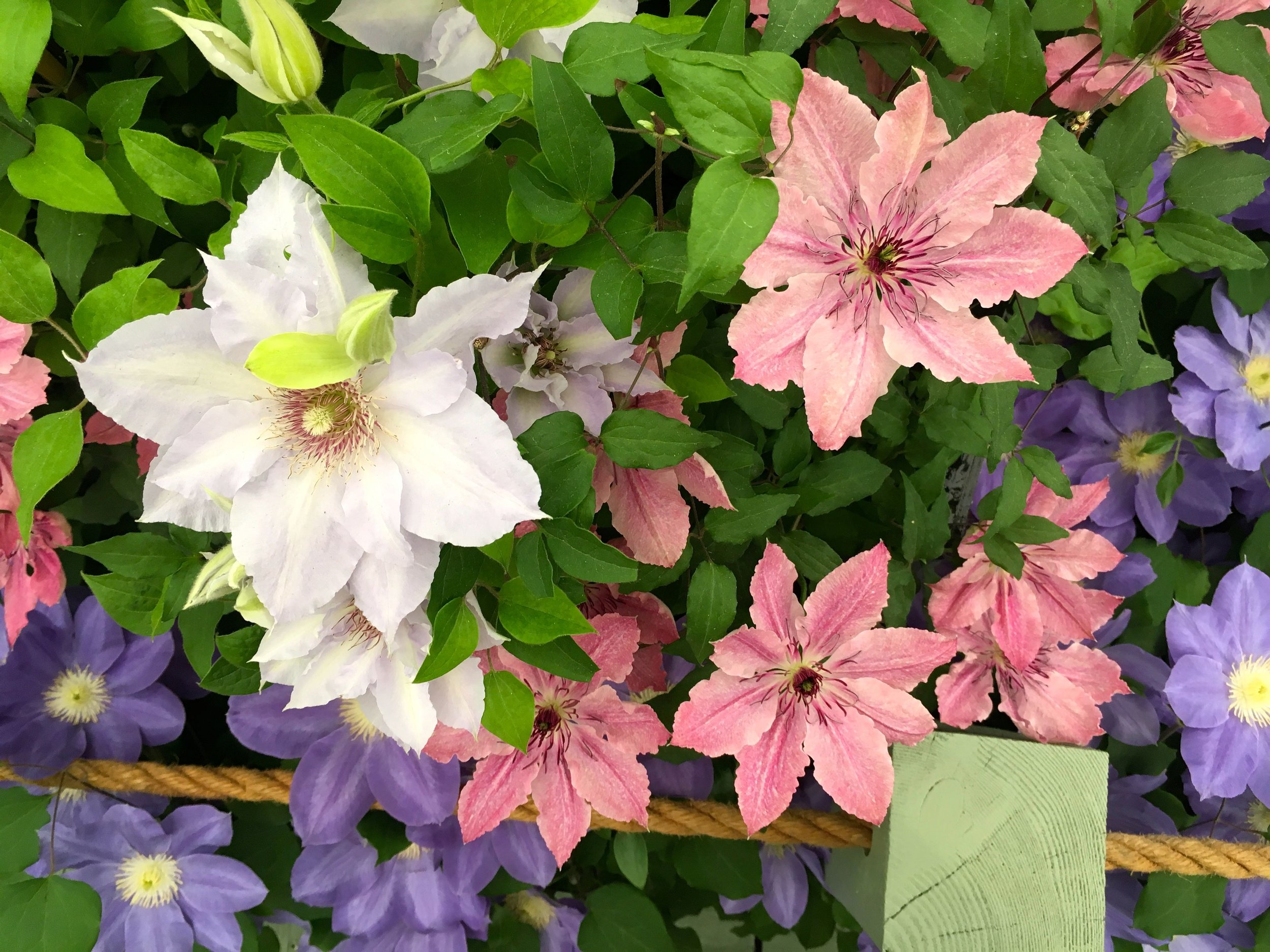 many colours of clematis