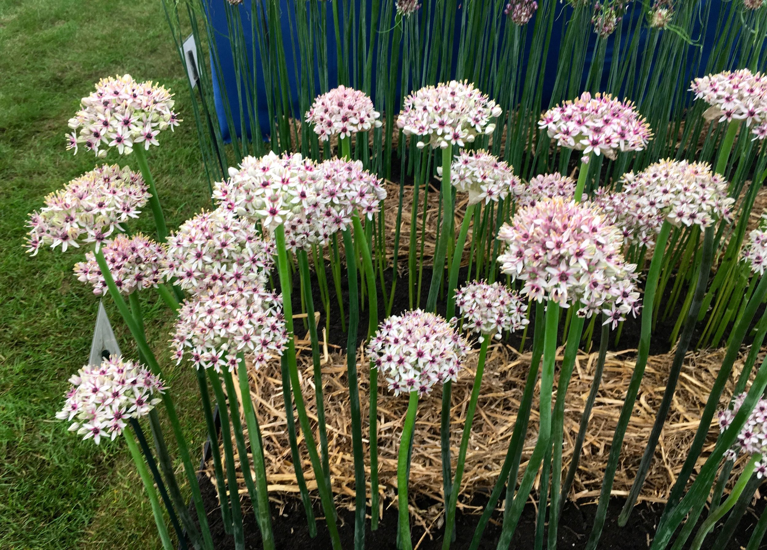 pale pink alliums