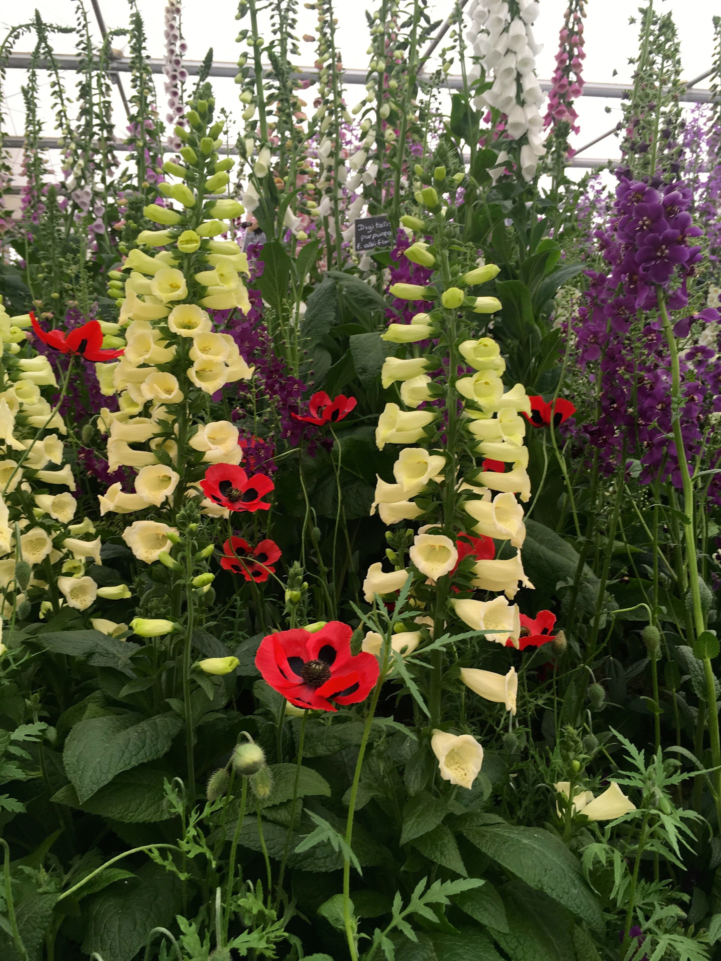 Foxgloves and a poppy or two too
