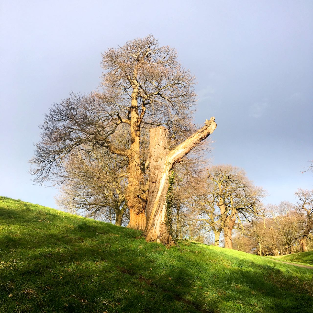 sunlight catching the gnarly old tree trunk in Greenwich Park