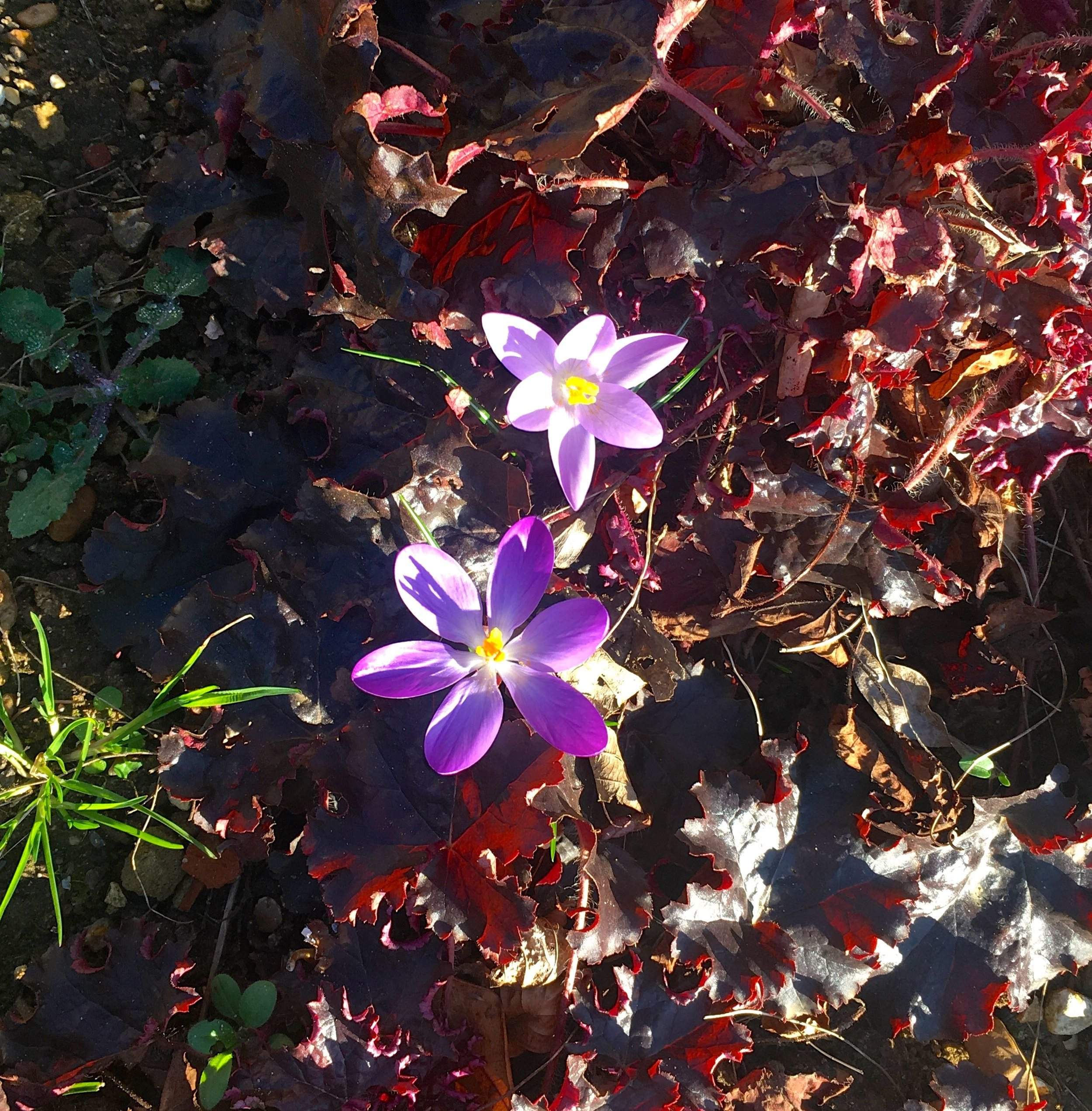Crocuses in the sun in dad's garden