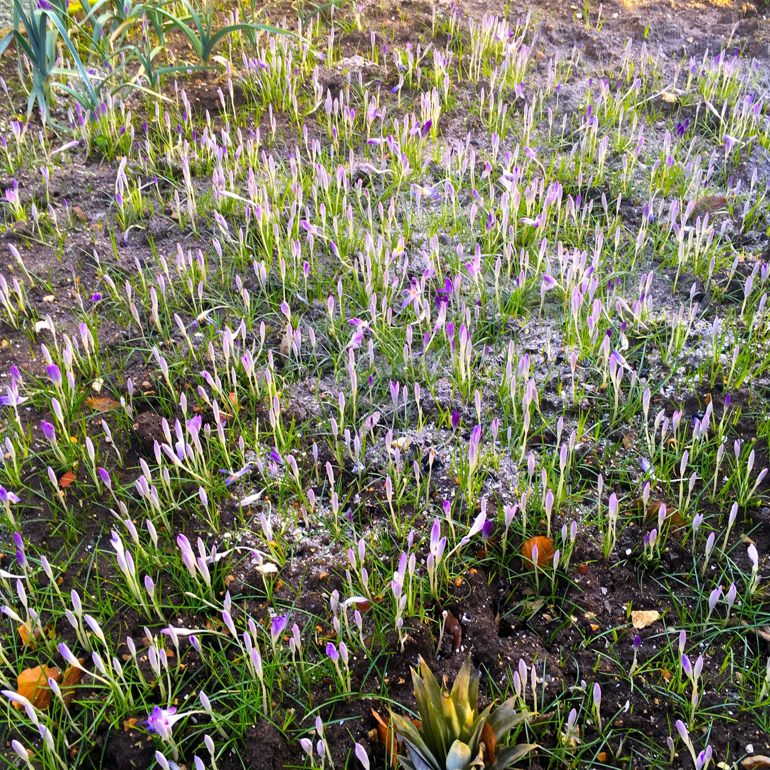 a carpet of crocuses
