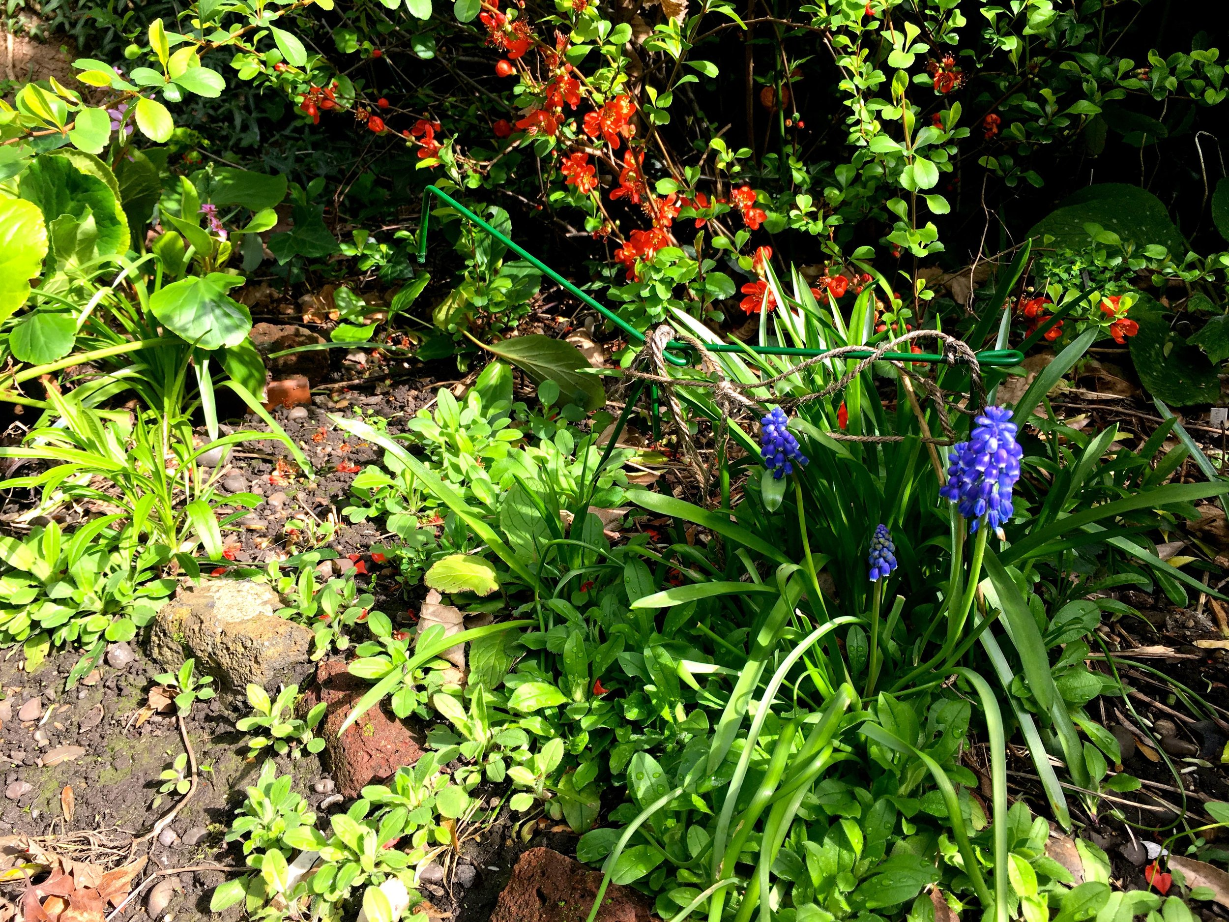 grape hyacinths and ornamental quince in the sun