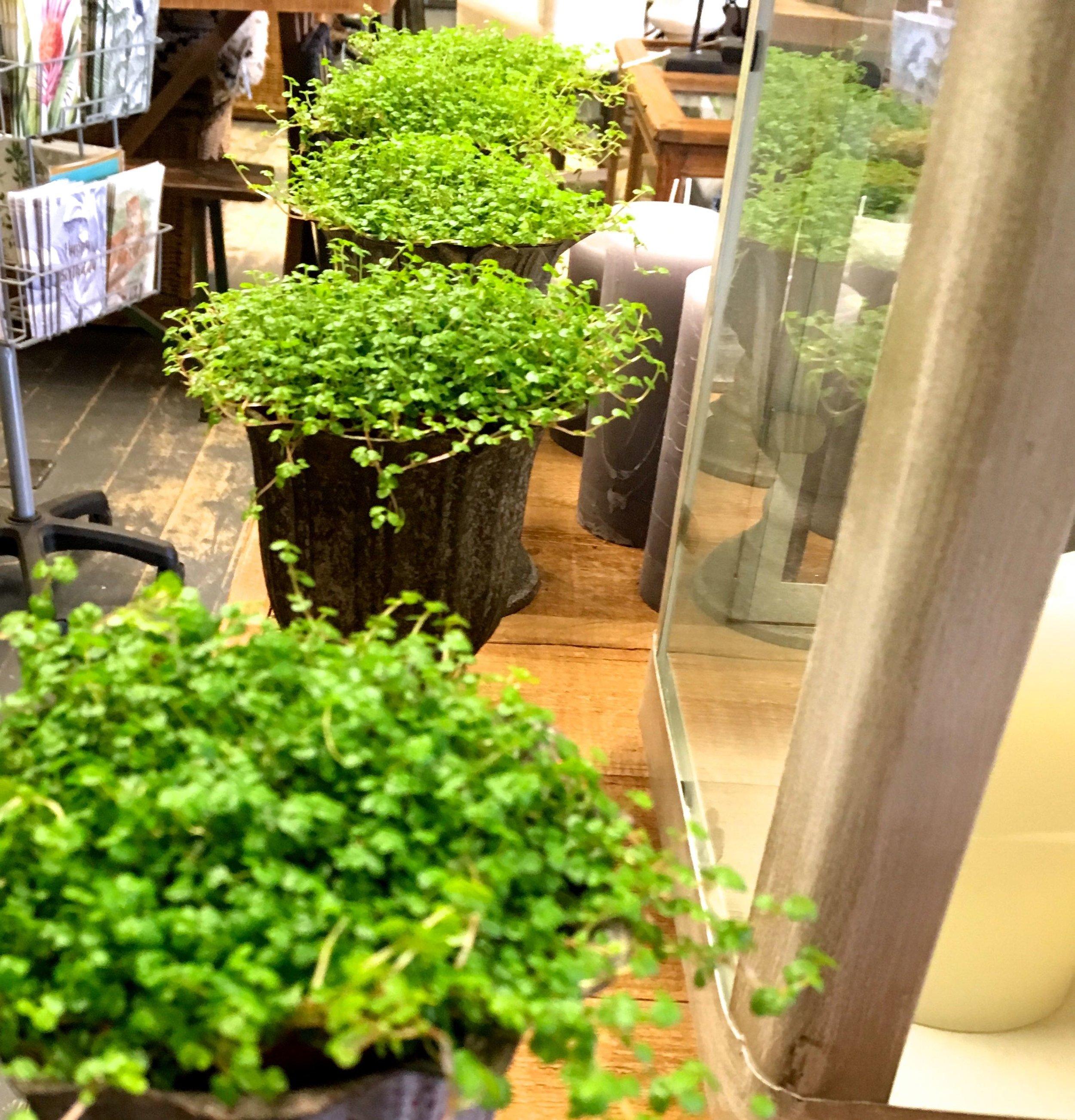 pots of green at joyful living in Norfolk