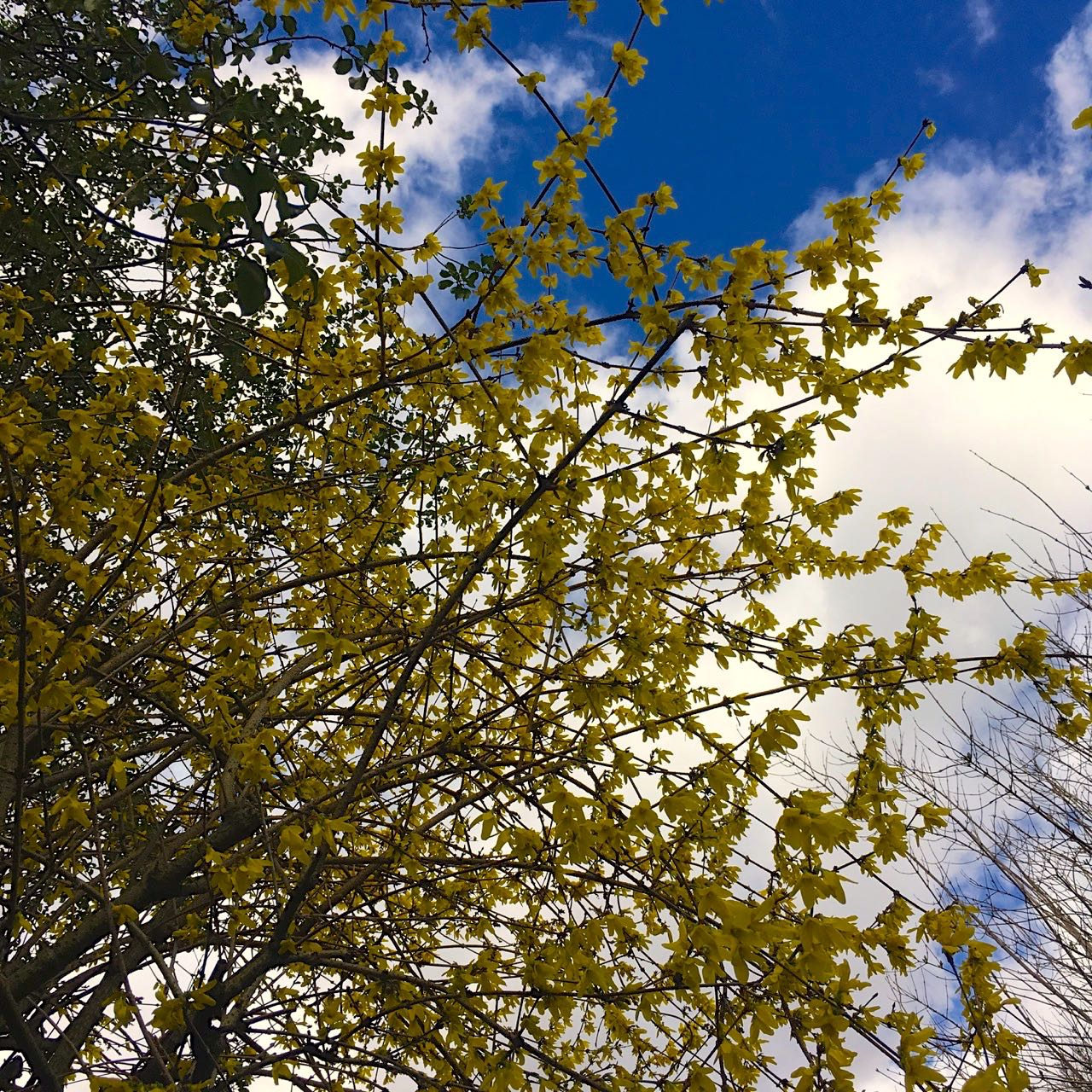 looking up into the forsythia