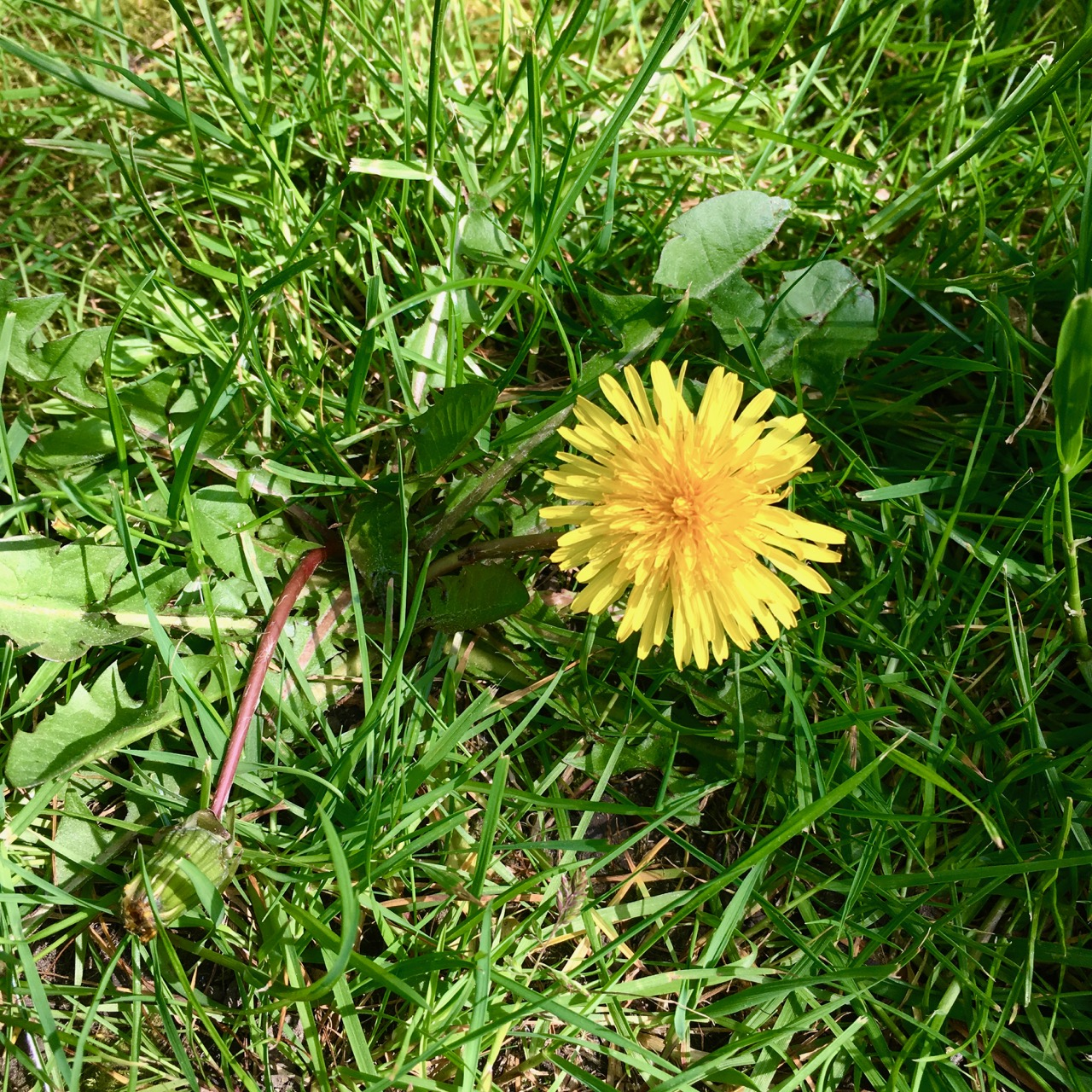 A dandelion, but at least there are no bears