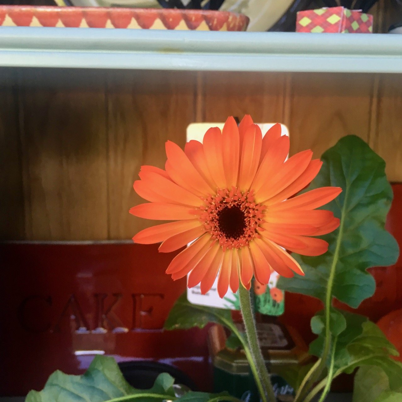 A gerbera in full flower.jpg