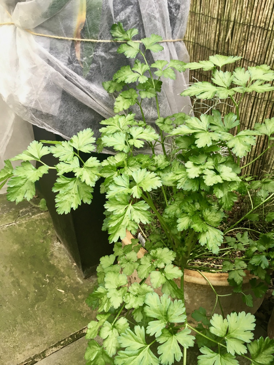 overwintered parsley