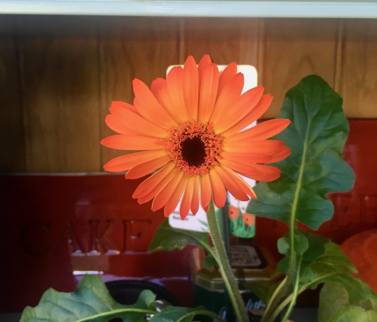 the sweet sunset gerbera in flower