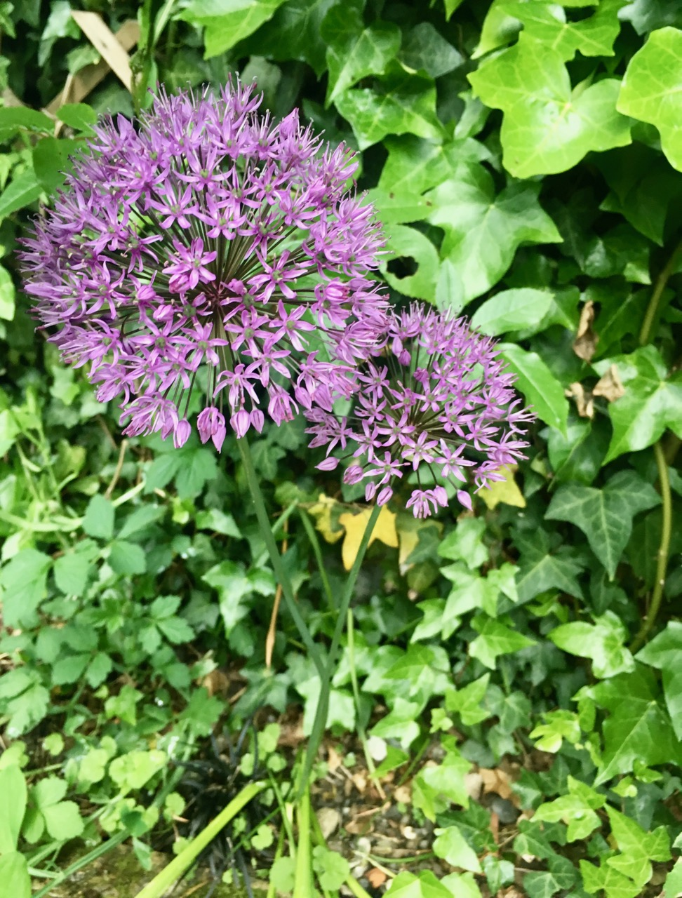 alliums shining through