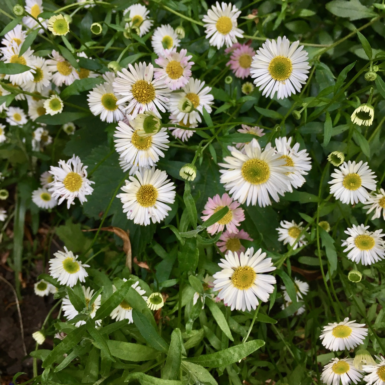 daisies in the flowerbed