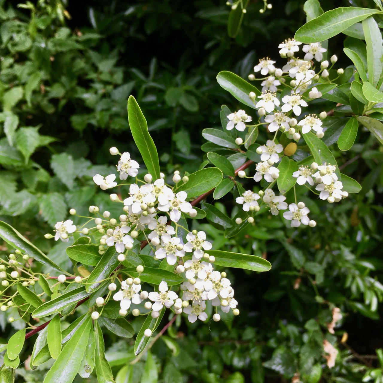 miniature flowers on the pyracantha