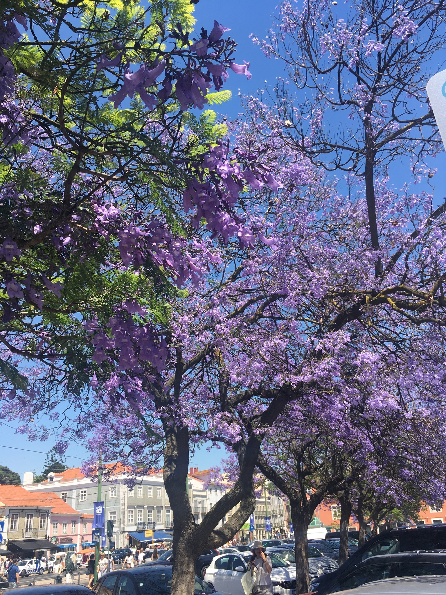 THE PRETTY LISBON JACARANDAS
