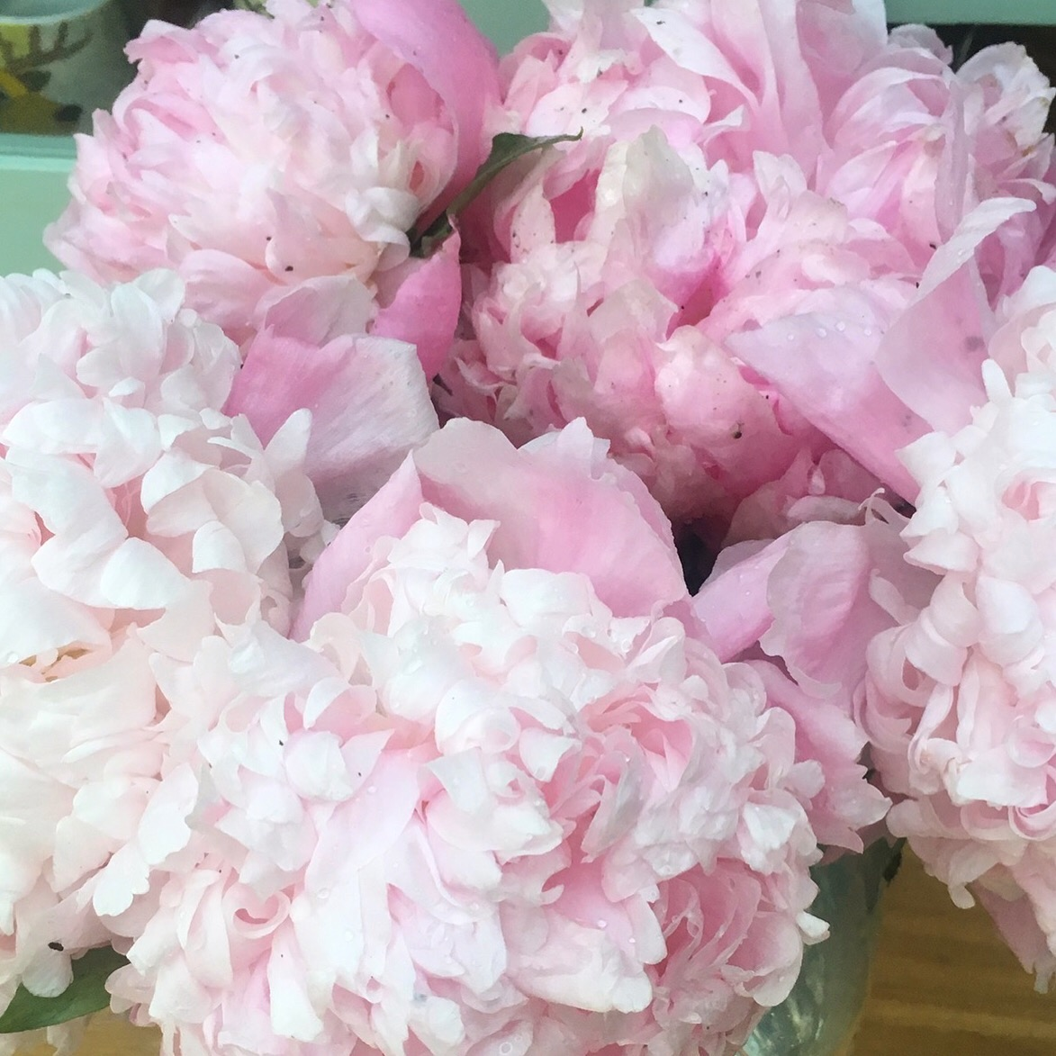 peonies rescued from my garden