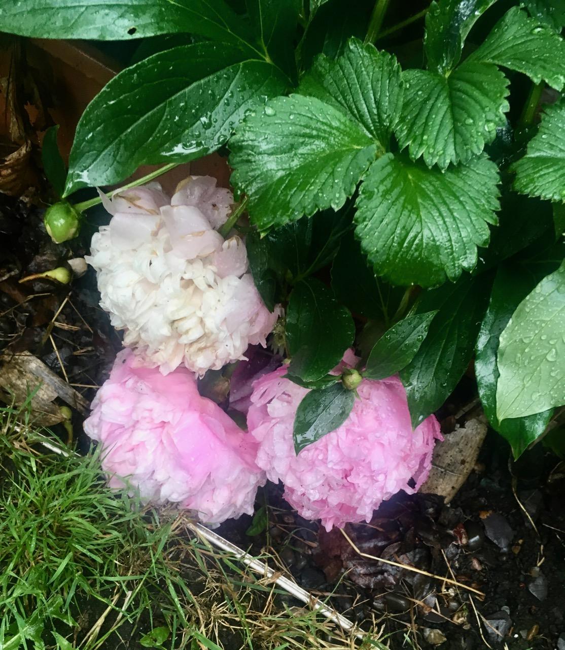 peonies cowering in the rain
