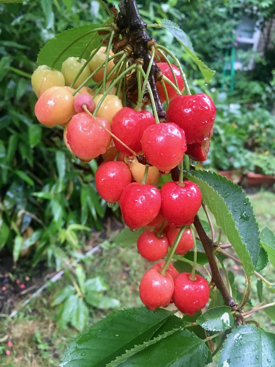 Cherries glistening in the rain