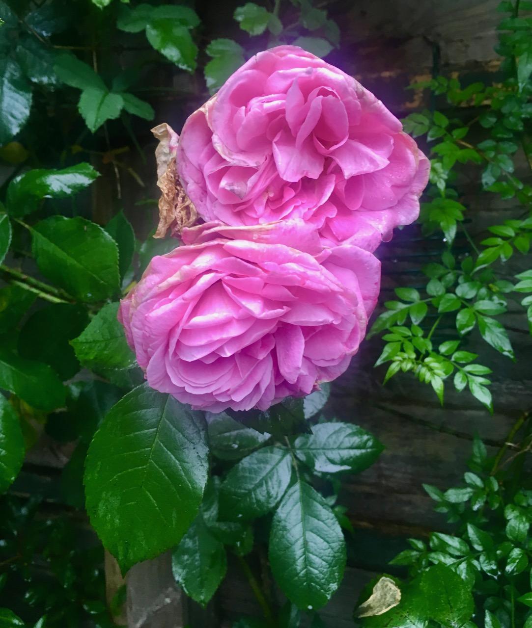 Getrude Jekyll in fine form in our garden