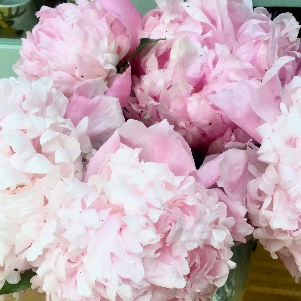 rescued peonies indoors