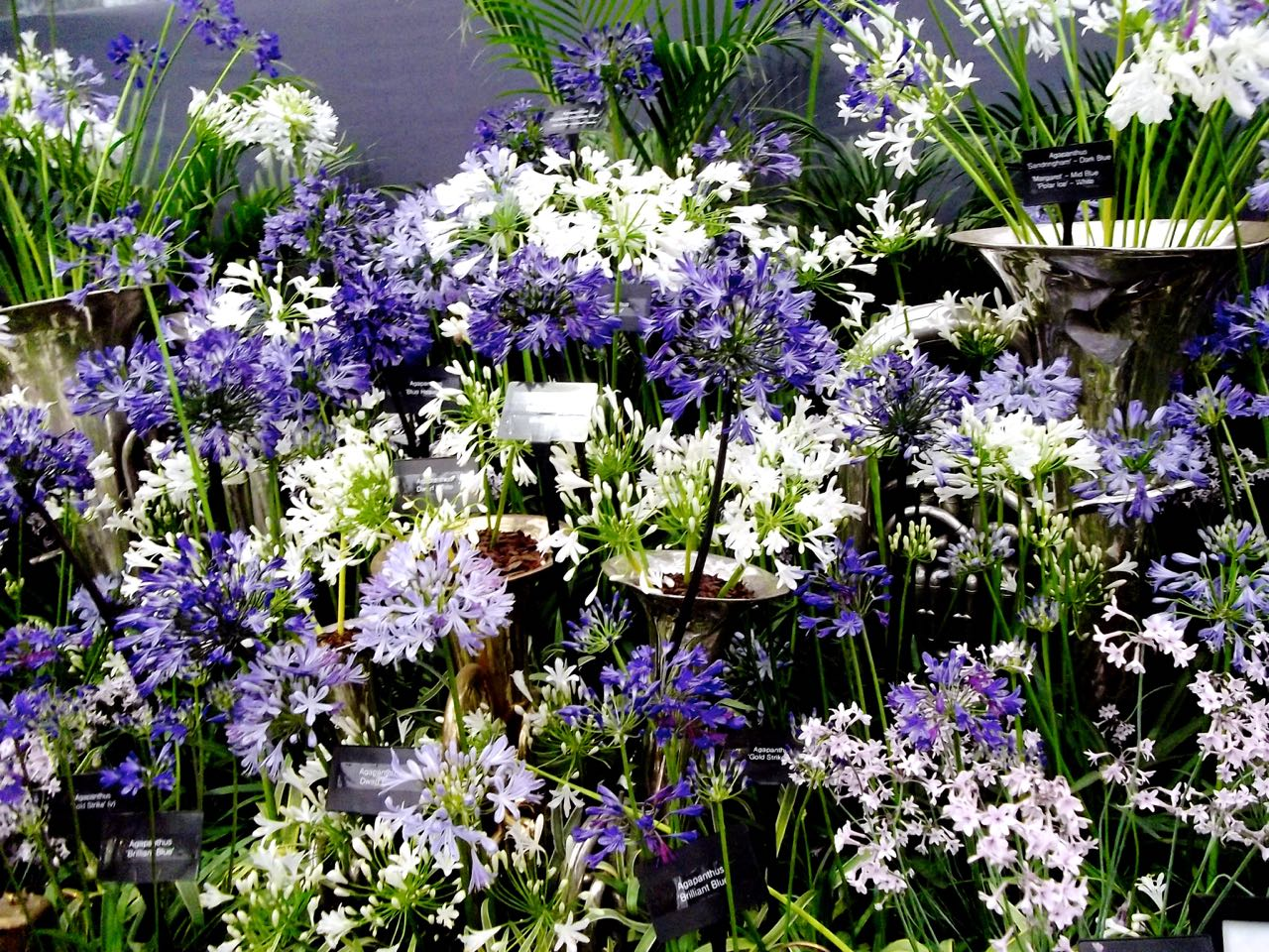 agapanthus at chelsea in 2015