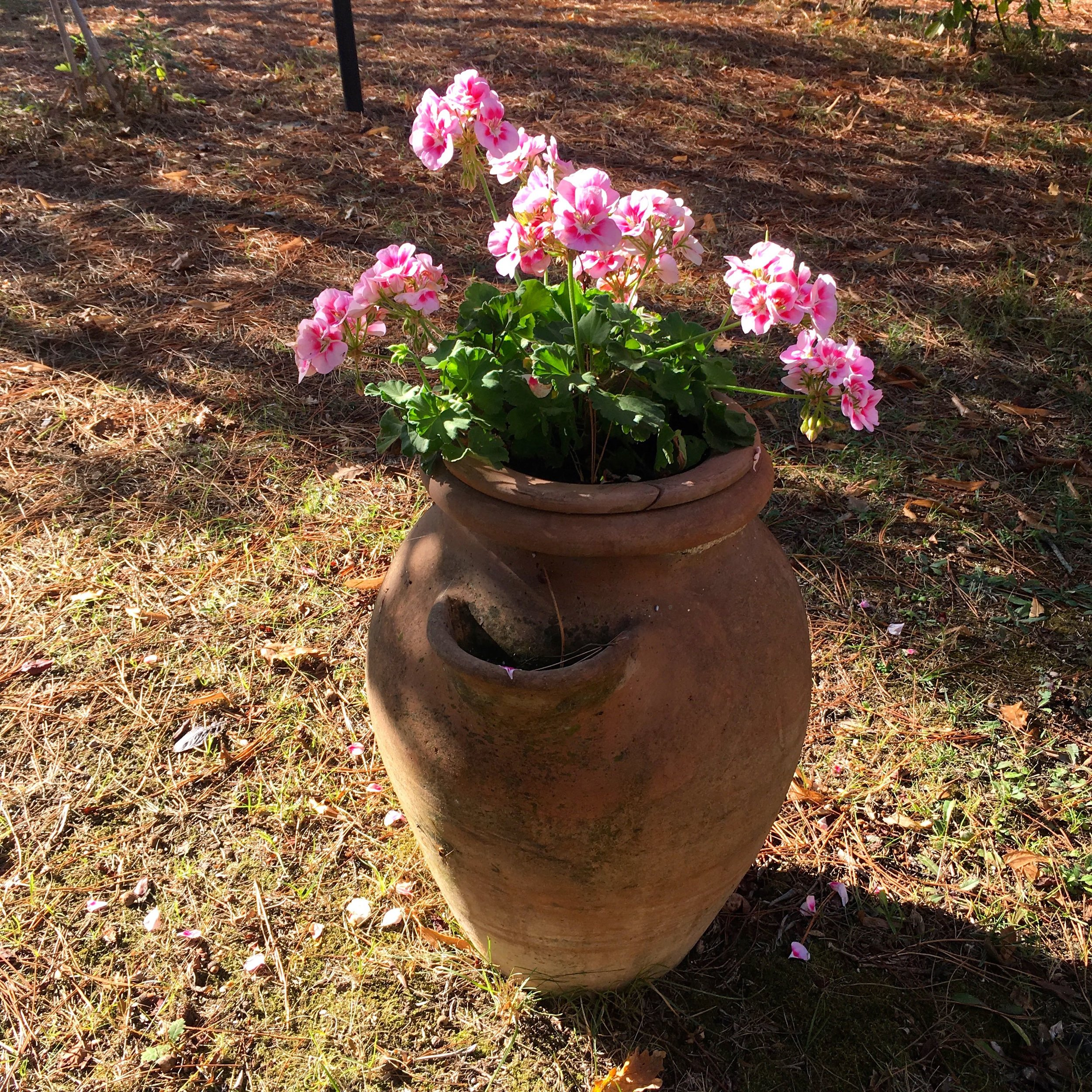terracotta pot, pretty pink flowering geraniums