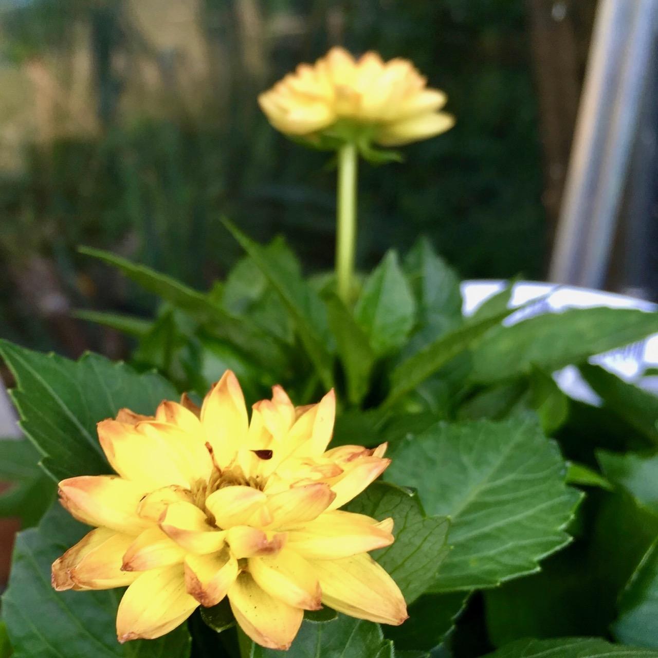 yellow dahlias for the patio