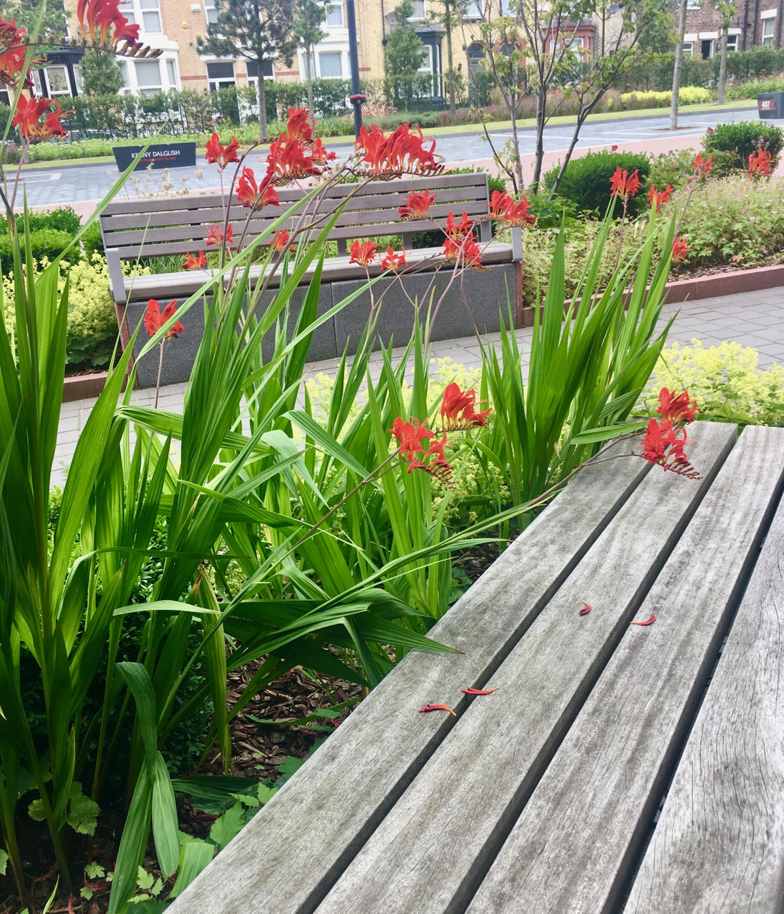 crocosmias at anfield