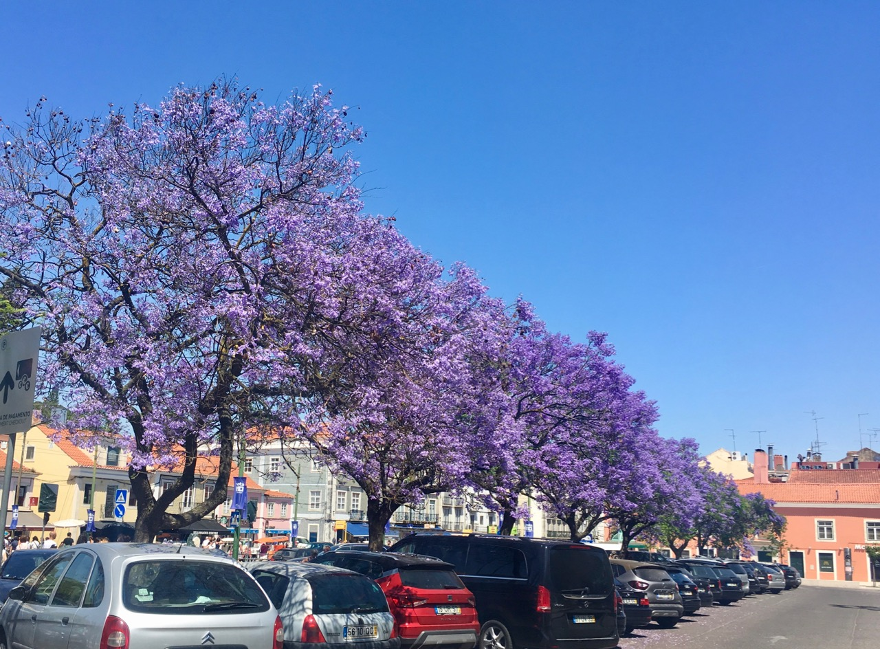 flowering jacarandas in Lisbon