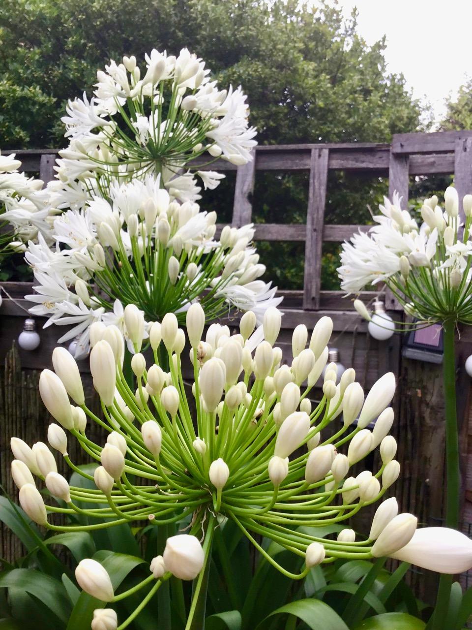 agapanthus in flower