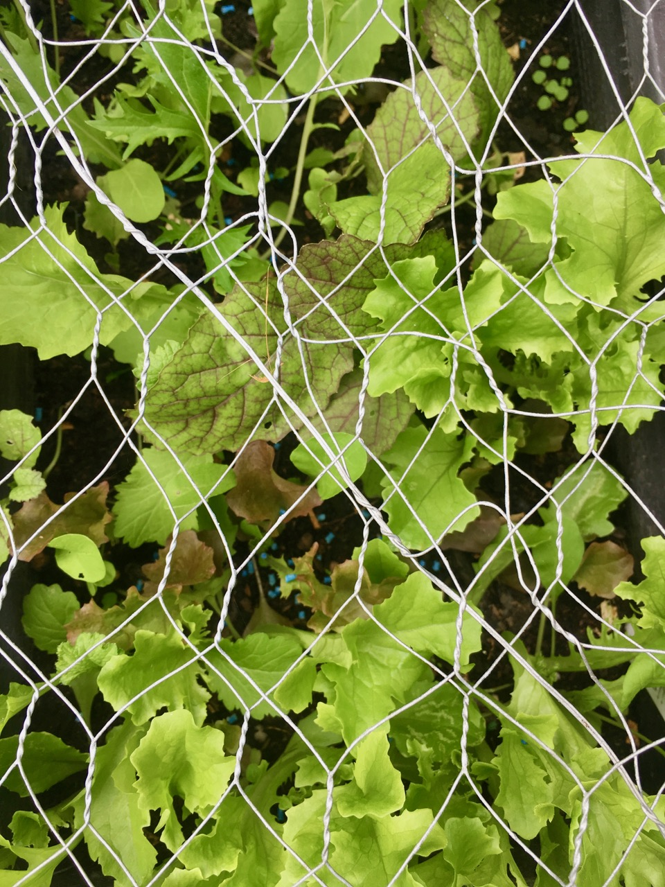 lettuce under chicken wire