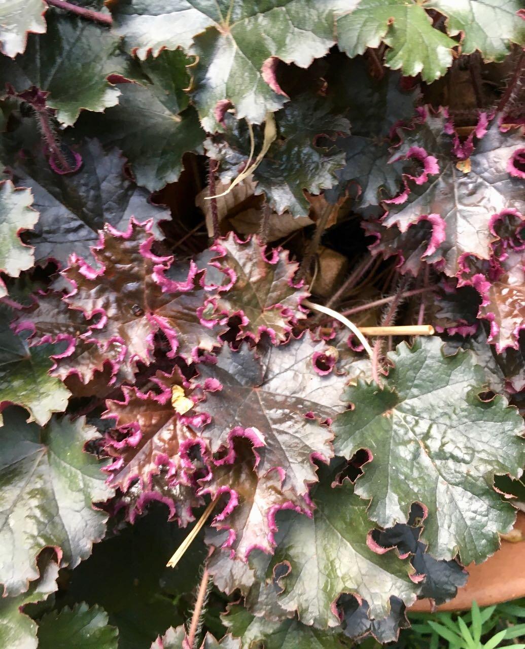 sunlight on purple leaves