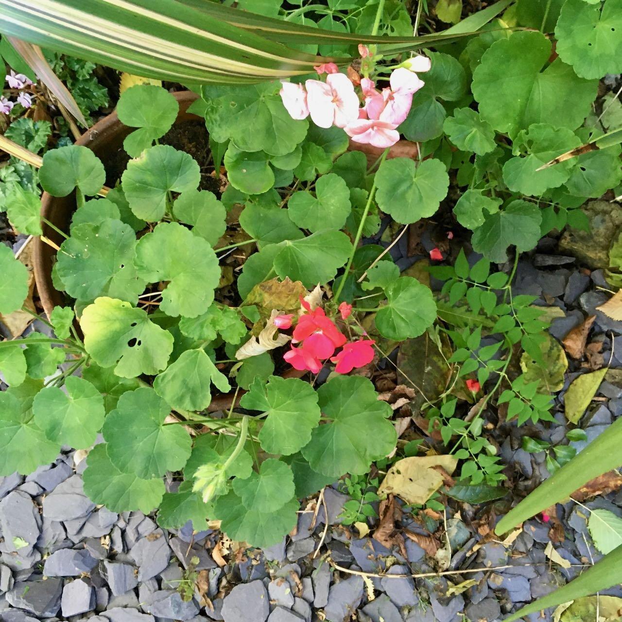 some colourful geraniums
