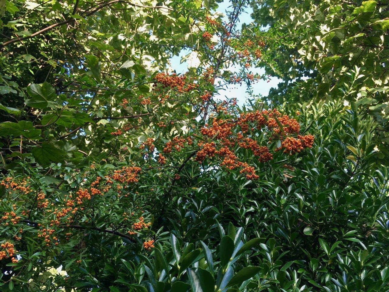 orange berries on the pyracantha