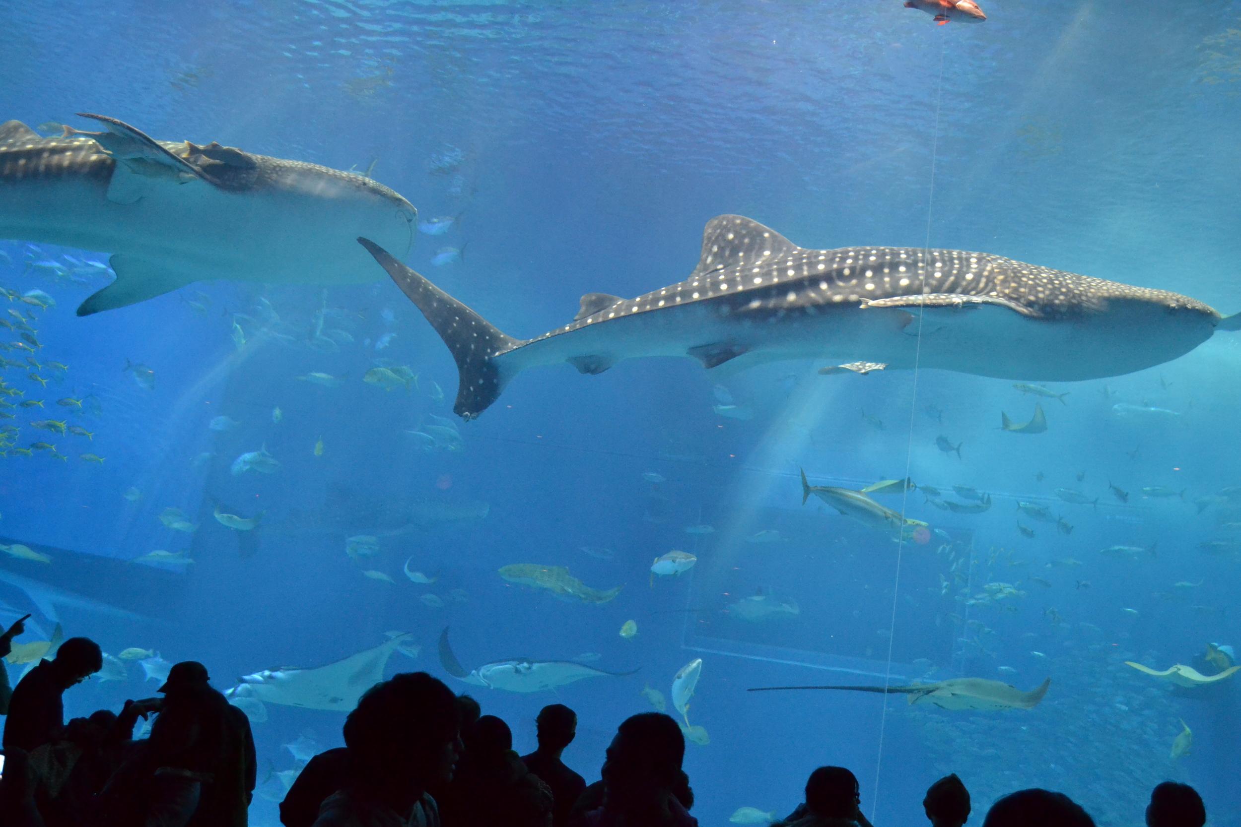 El único acuario que pudo albergar a tiburones ballena y mantarrayas en un mismo lugar.