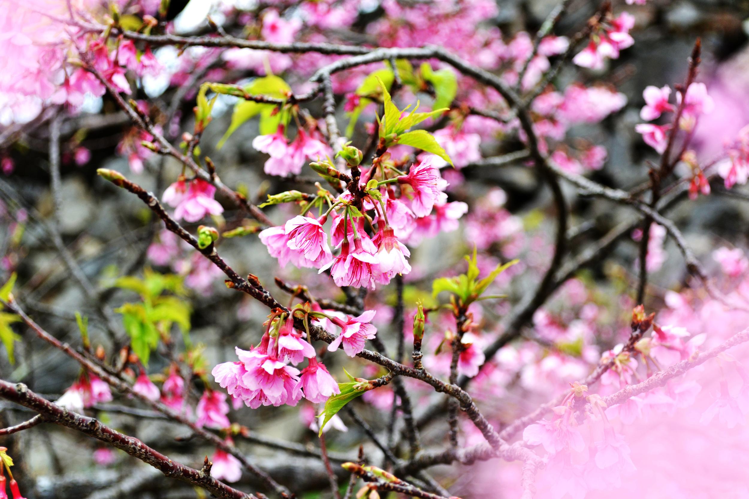 El sakura okinawense es el primer sakura que florece en todo Japón.