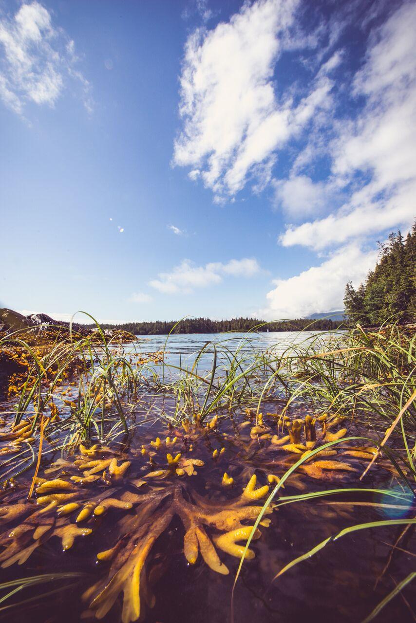 Bladderwrack Seaweed and eel grass!