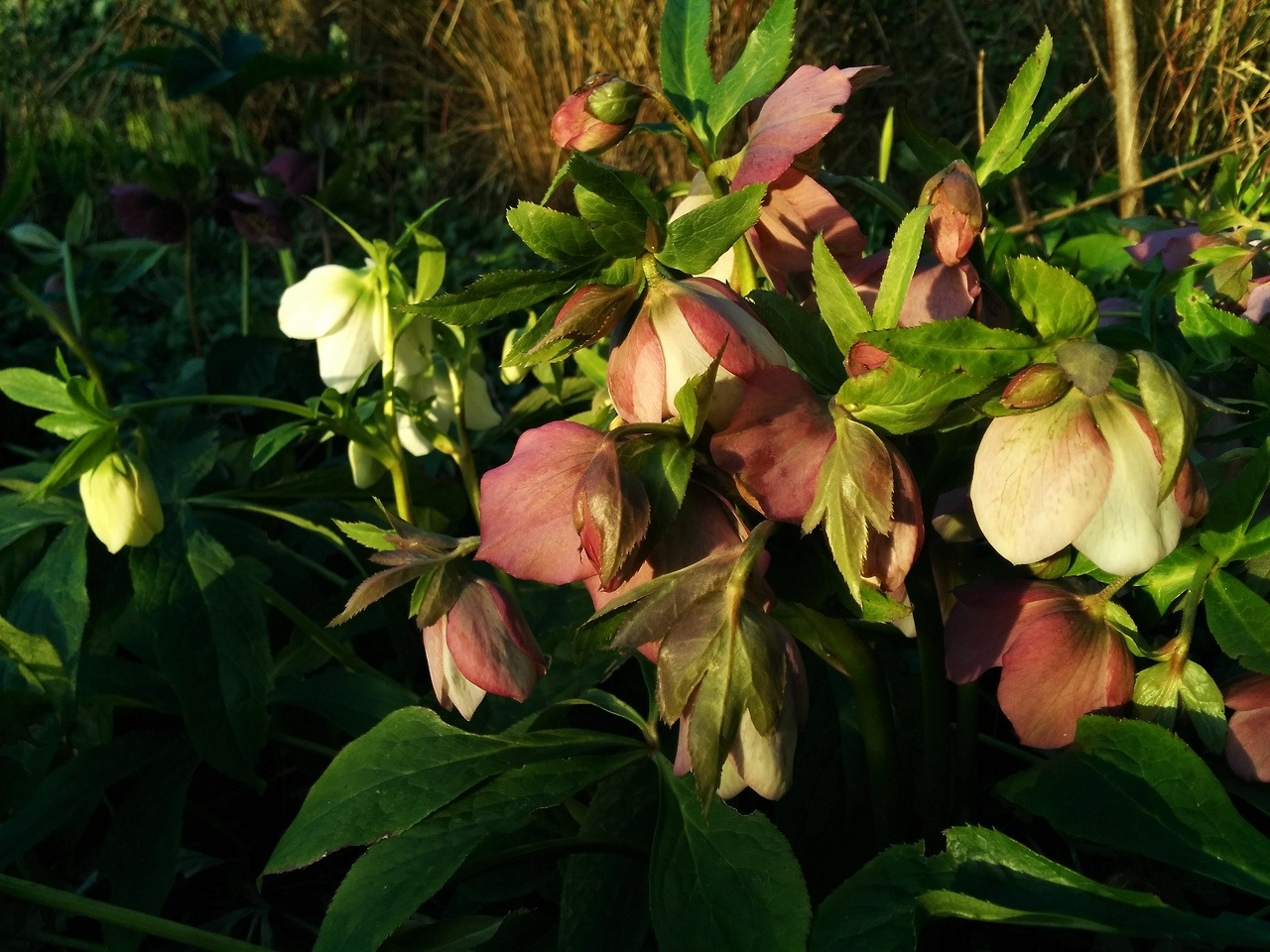 Hellebores the late afternoon sunshine. Working in the garden to nearly 6pm, spring is on the way…
