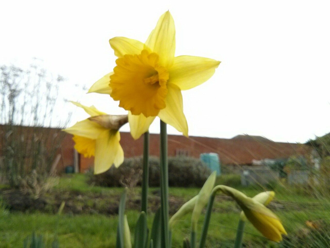 Daffodils out on the allotment this lunchtime… just in time for Christmas!