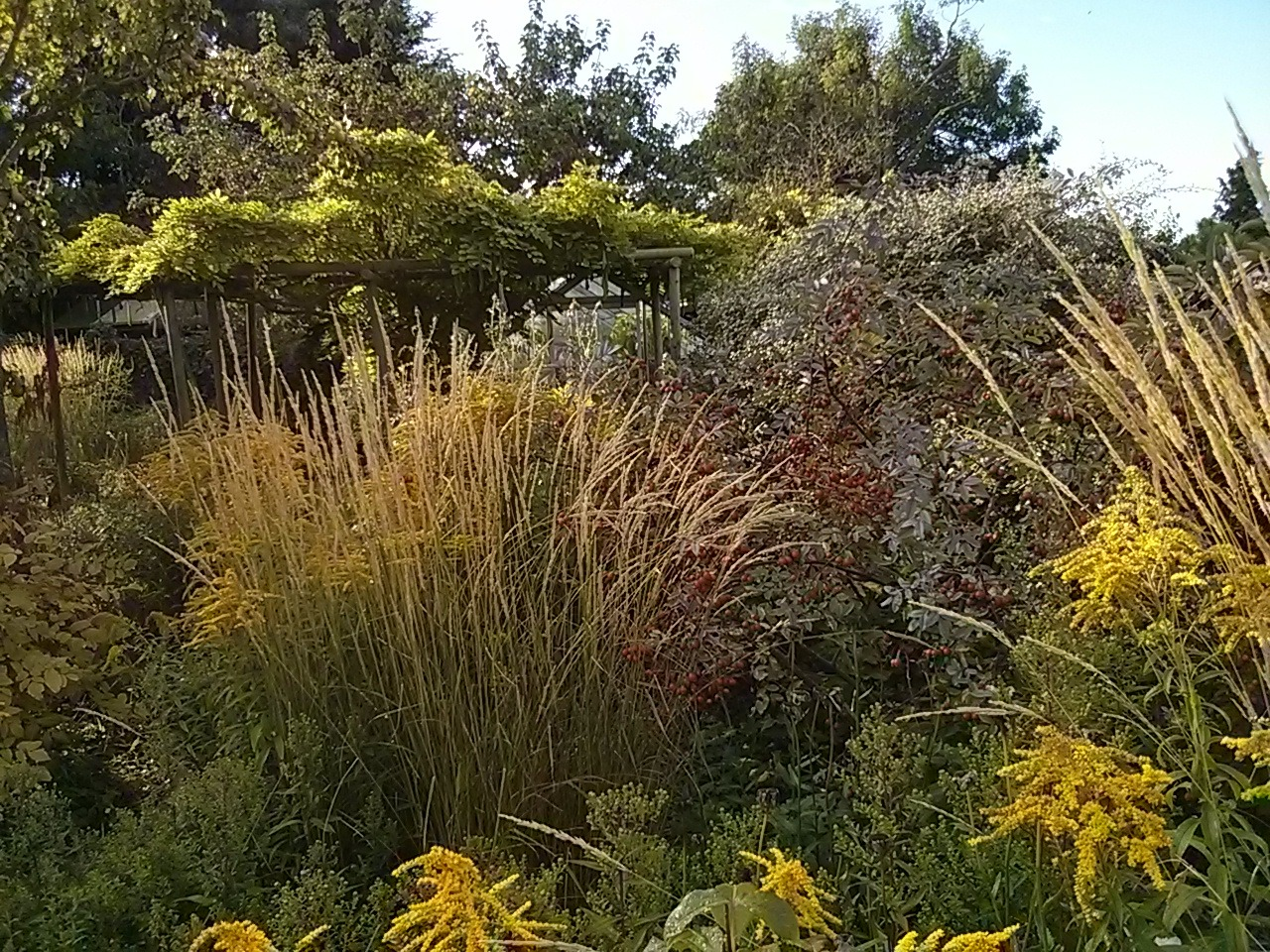 A definite touch of autumn in the garden this morning; looking good in some early sunlight.
