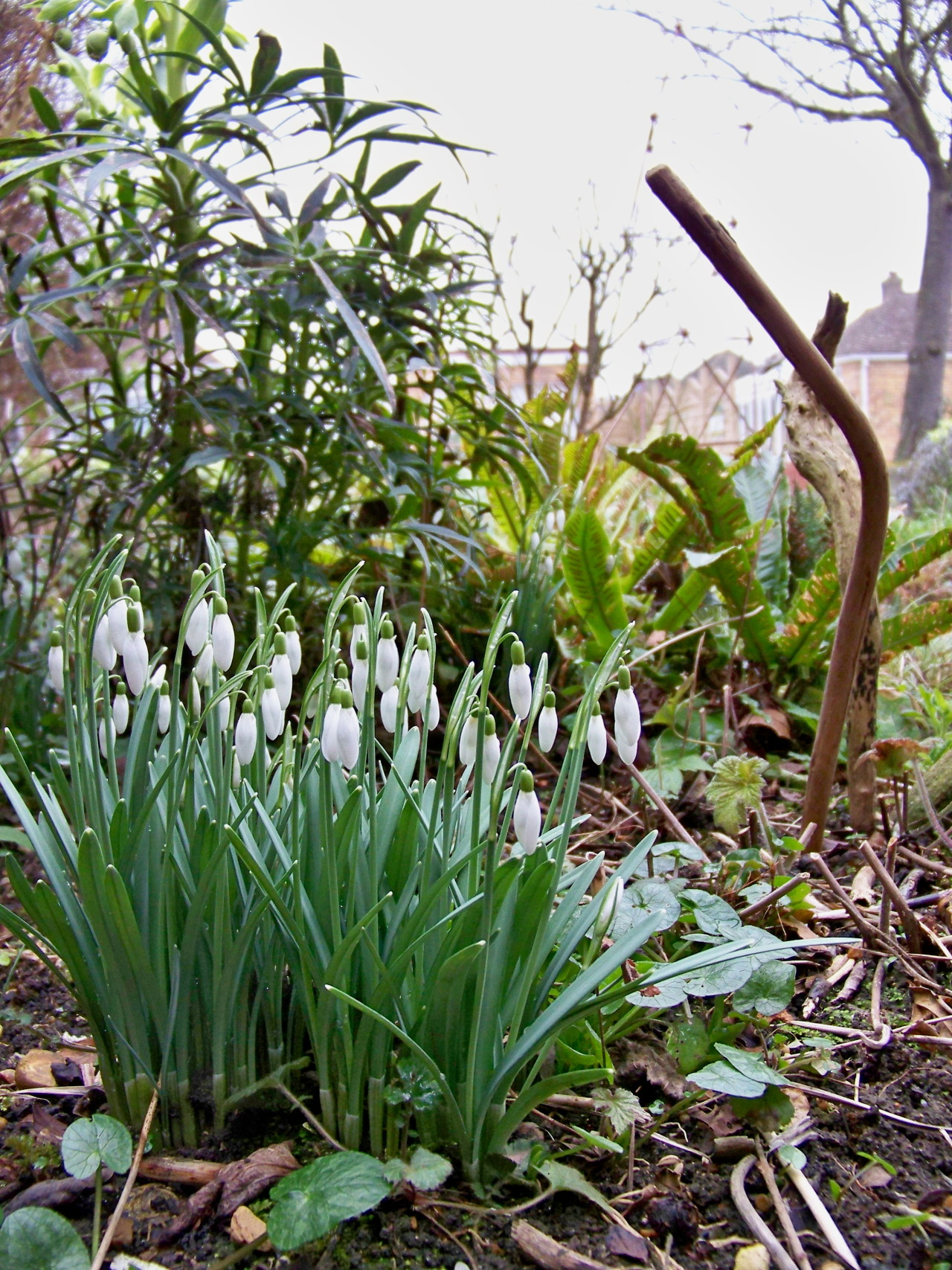 Spring is slowly making anappearancein the garden but it is still very cold and grey. The forecast has promised a little thinning of the clouds tomorrow.