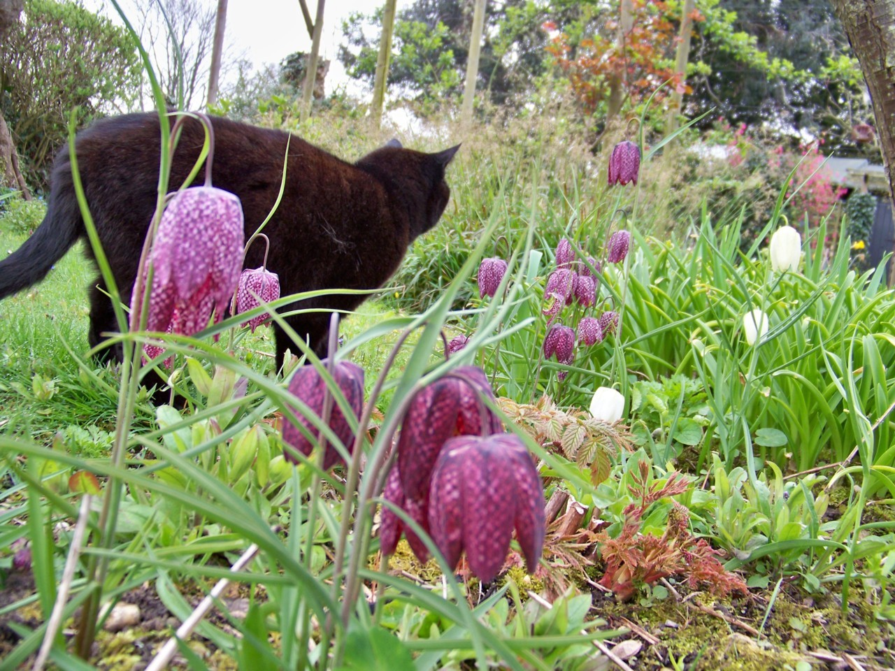 12th April 2012. Pablo among the fritillaries in the garden this morning.