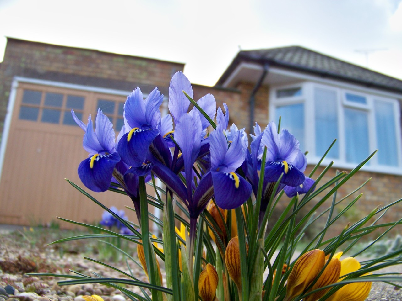 25th February 2012. Iris Reticulata growing in the drive at home.