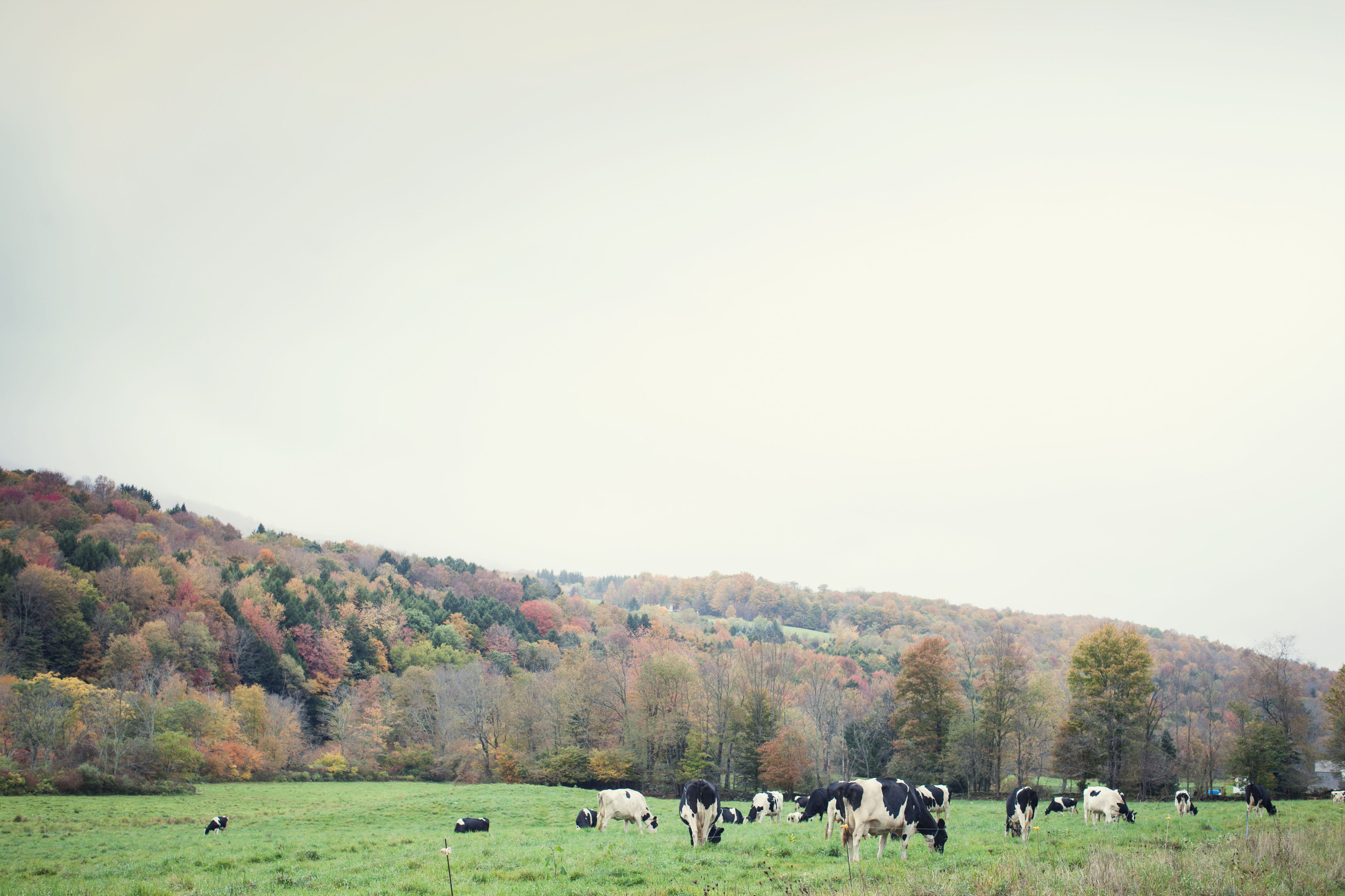 cows. catskills. music.