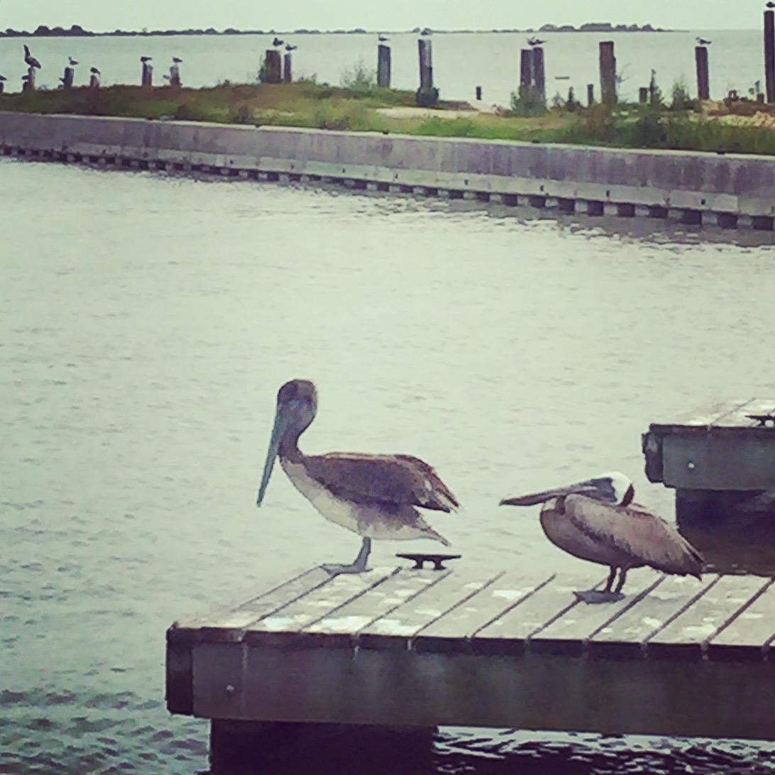 Pelicans at Seadrift, Texas