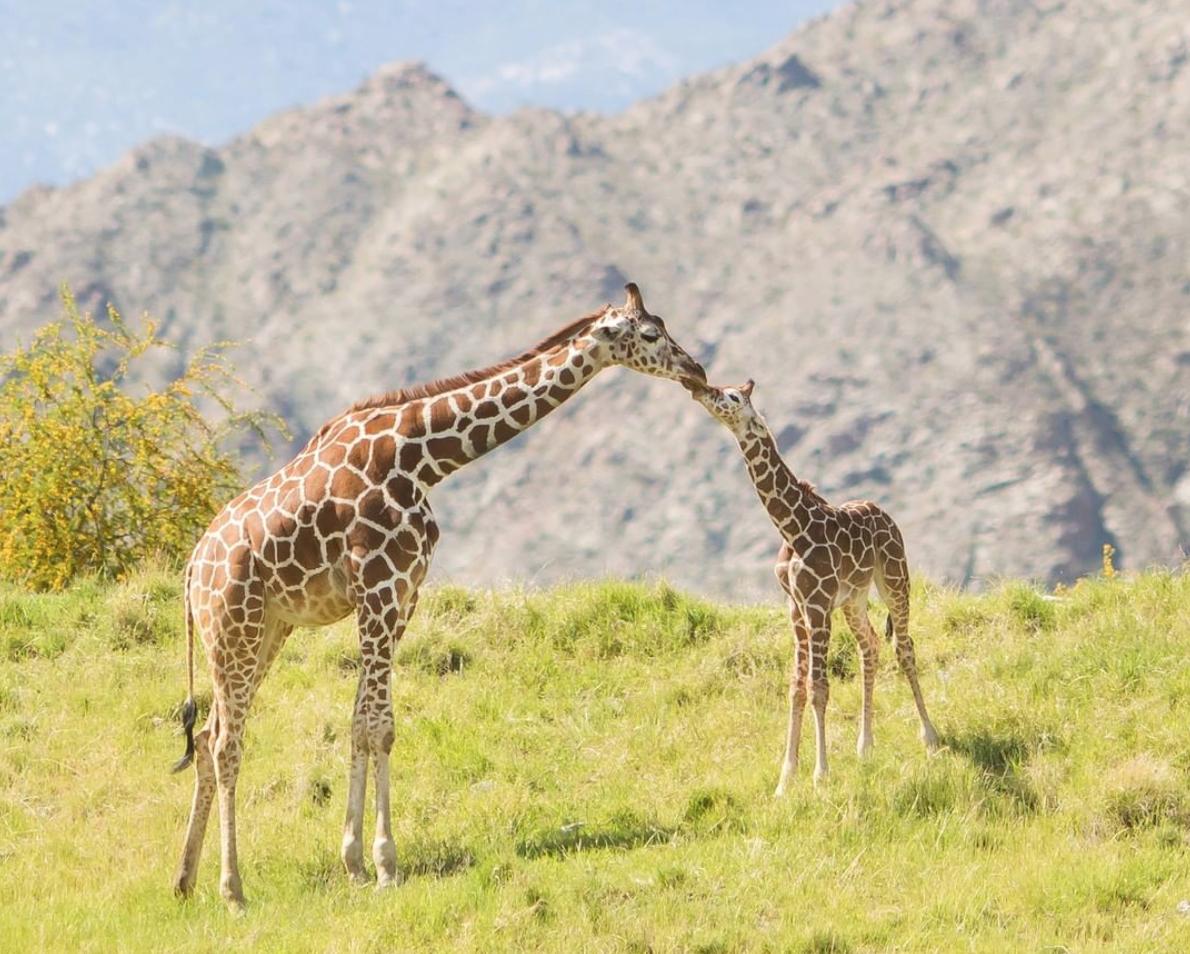 Giraffes at the Living Desert Zoo & Garden