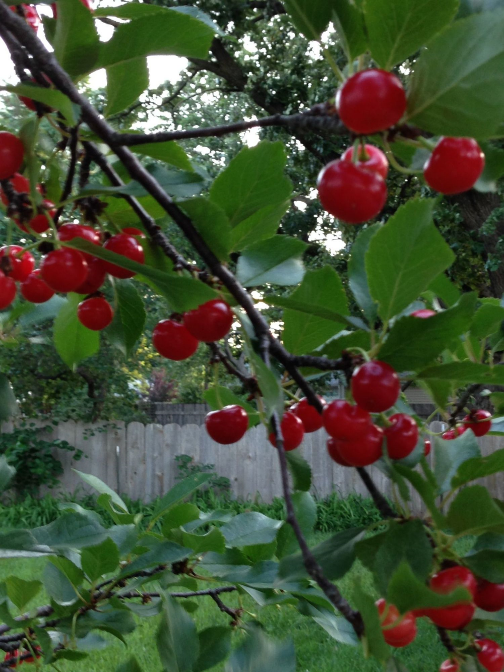 Cherries... ready for pickin'!