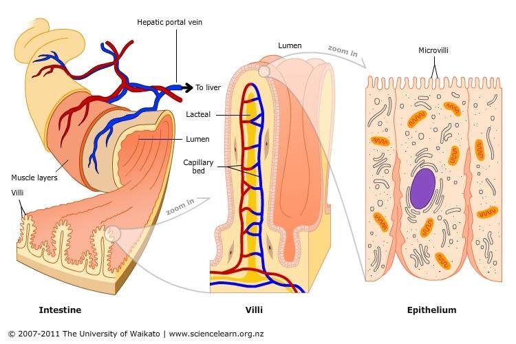 another gi anatomy.jpg